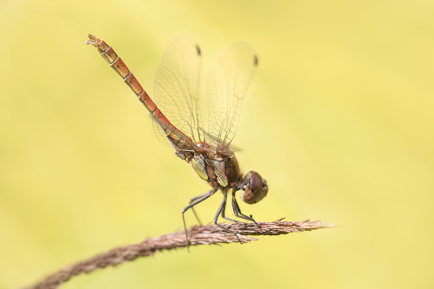 Common Darter.jpg